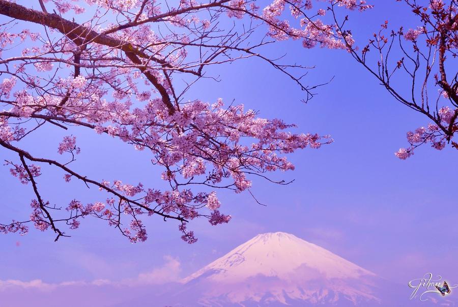 Cherry Blossom And Mt Fuji Wallpaper 2 By Sakura060277 On