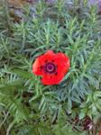 Poppy 3