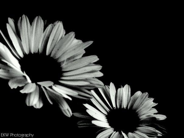 Black Daisy #