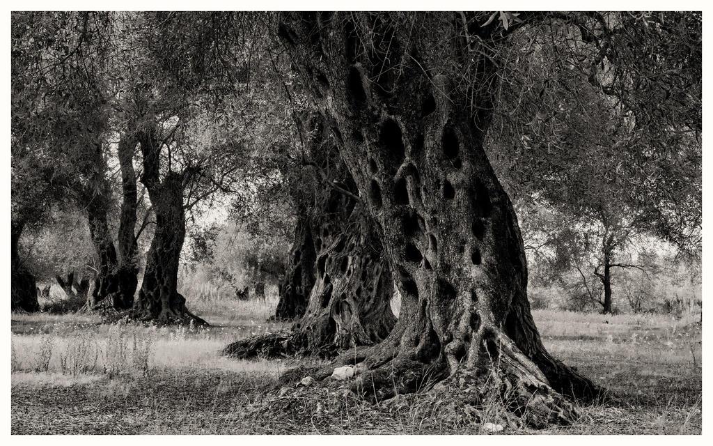 AUTUMN CORFU Dark olive tree by Henrikson