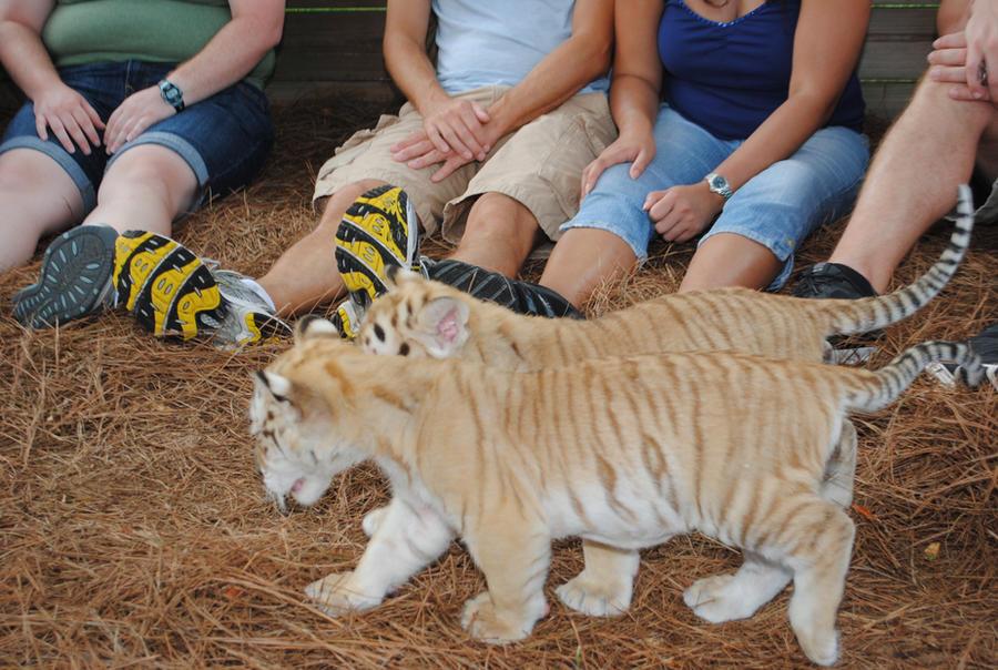 Golden tabby tiger cubs