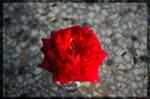 The smartest rose ever