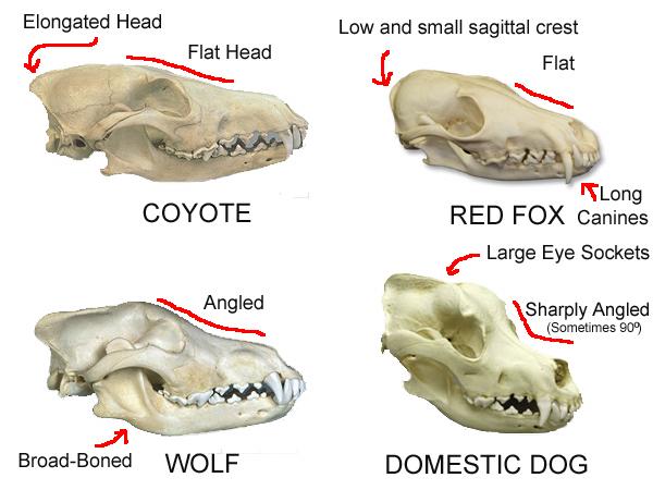 Черепа и скелеты разных пород - Страница 2 Canines__part_1__skulls_by_wadifahtook