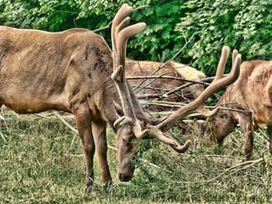 Elk AROUND