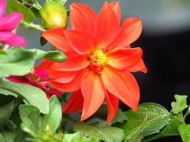 Orange Dahlia by Kitteh-Pawz