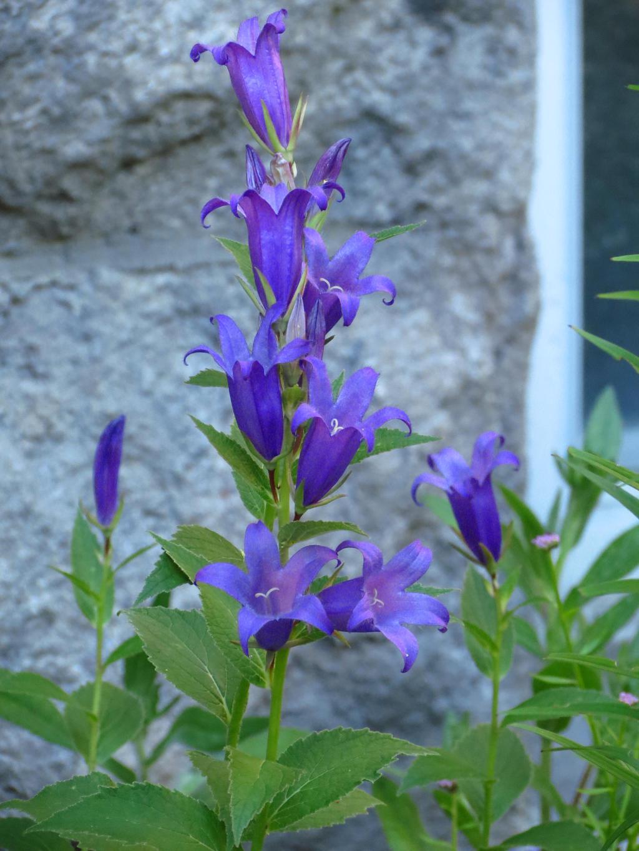 Blue Bell Flowers by Kitteh Pawz on deviantART