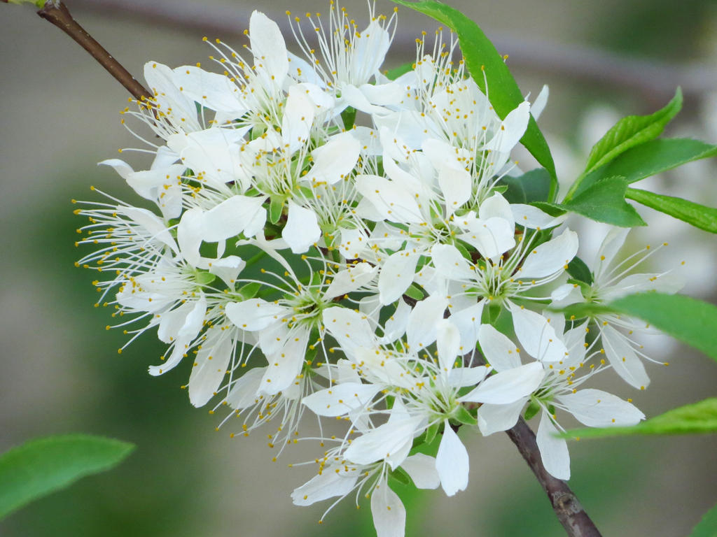 5 Petal White Tree Flower By Kitteh Pawz On Deviantart