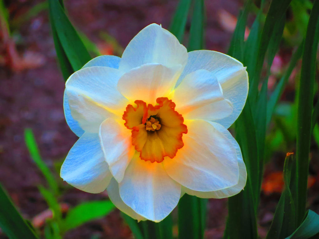 Daffodil On Fire