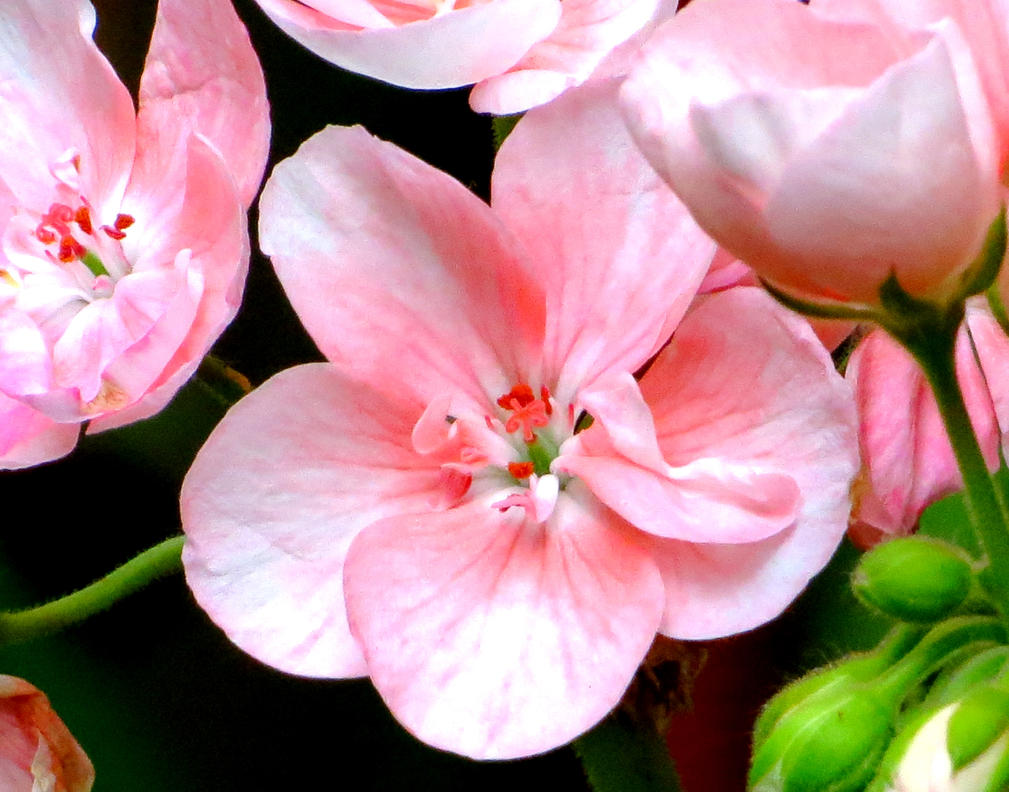 A pink geranium flower by kitteh pawz on deviantart a pink geranium flower by kitteh pawz mightylinksfo