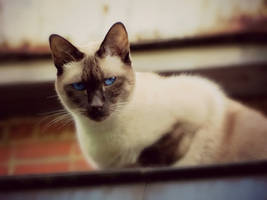 Face of a Siamese by Kitteh-Pawz