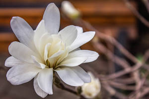 White Magnolia Flower by Kitteh-Pawz
