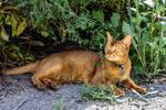The Wandering Abyssinian Cat by Kitteh-Pawz