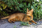 The Wandering Abyssinian Cat by Kitteh-Pawz