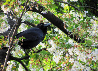 The Raven and Cherry Tree