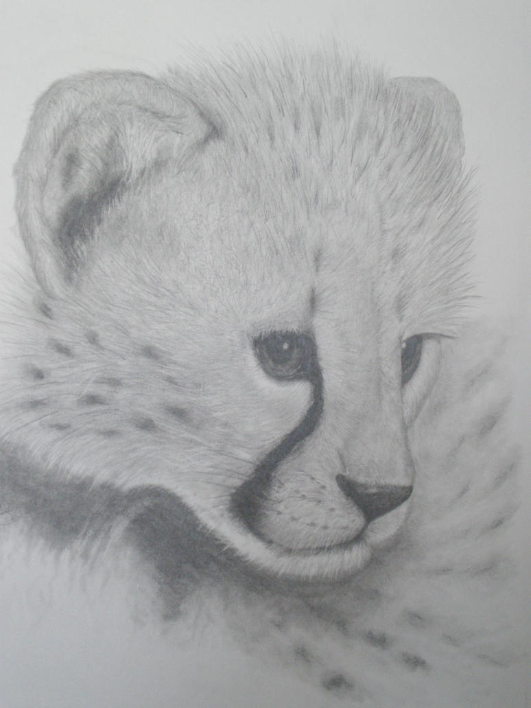 Cheetahs drawing face