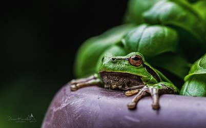 Mrs Croak aka European tree frog by Sorrka