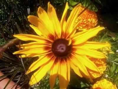 Yellow Daisy by Vixie1979