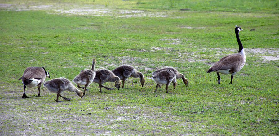 Happy Geese Family by RosleinRot