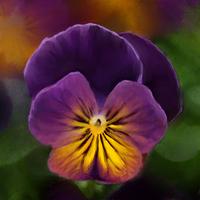 Violet : Flower Study