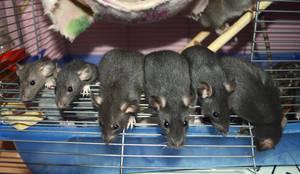 Bye bye baby rats