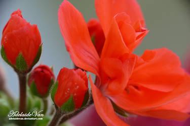 Pelargonia-Geranium 4
