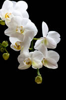 Orchid 2 by GoJaa