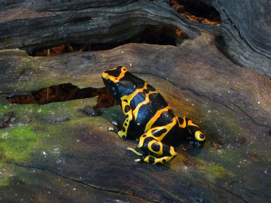 Poison dart frog by ceemdee