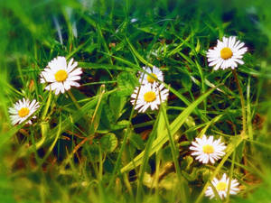 daisy in my back garden