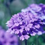 Purple Verbena -square-