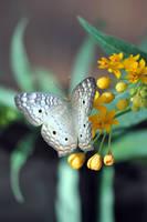 White Peacock Butterfly + Yellow Milkweed 2 by sara-satellite