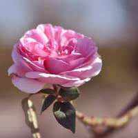 Antique Rose -square- by sara-satellite
