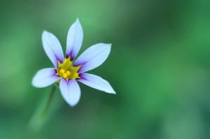 Annual Blue-Eyed Grass by sara-satellite
