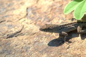 Brown Anole Lizard by sara-satellite