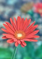 Gerber Daisy 3 by sara-satellite