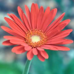 Gerber Daisy 2 -square-