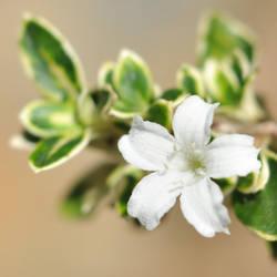 Snow Rose -square-