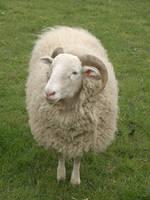 Sheep by slobo777-stock