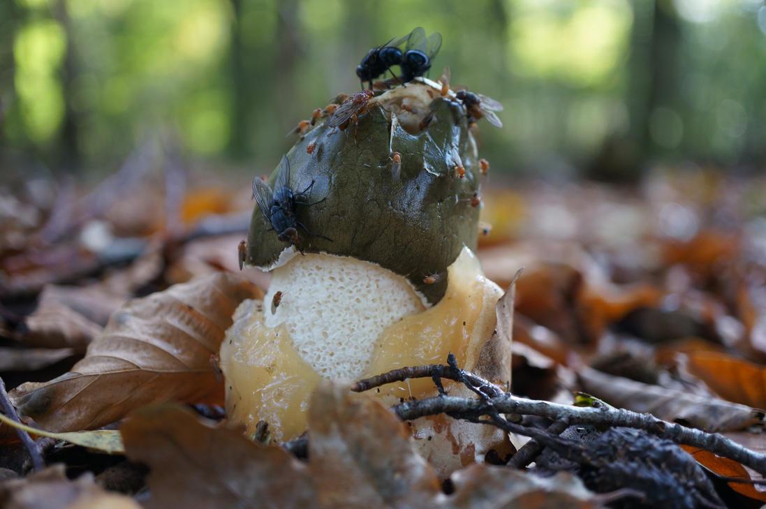 Common Stinkhorn a.k.a Phallus impudicus. by AutumnCapricorn