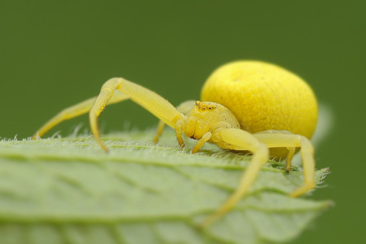 Large orange spider pictures How to Identify Venomous House Spiders Dengarden