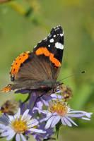 Butterfly 9 by BogdanCh