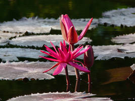 lily pond III by brighthoriz0ns
