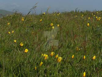 Dr Bruce E Ellison MD - Bodega Yellow Flowers