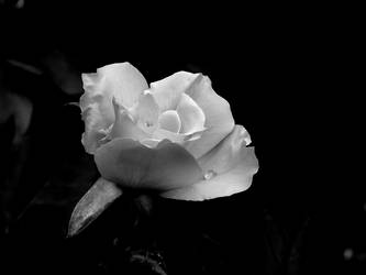 Black and White Rose by Else22