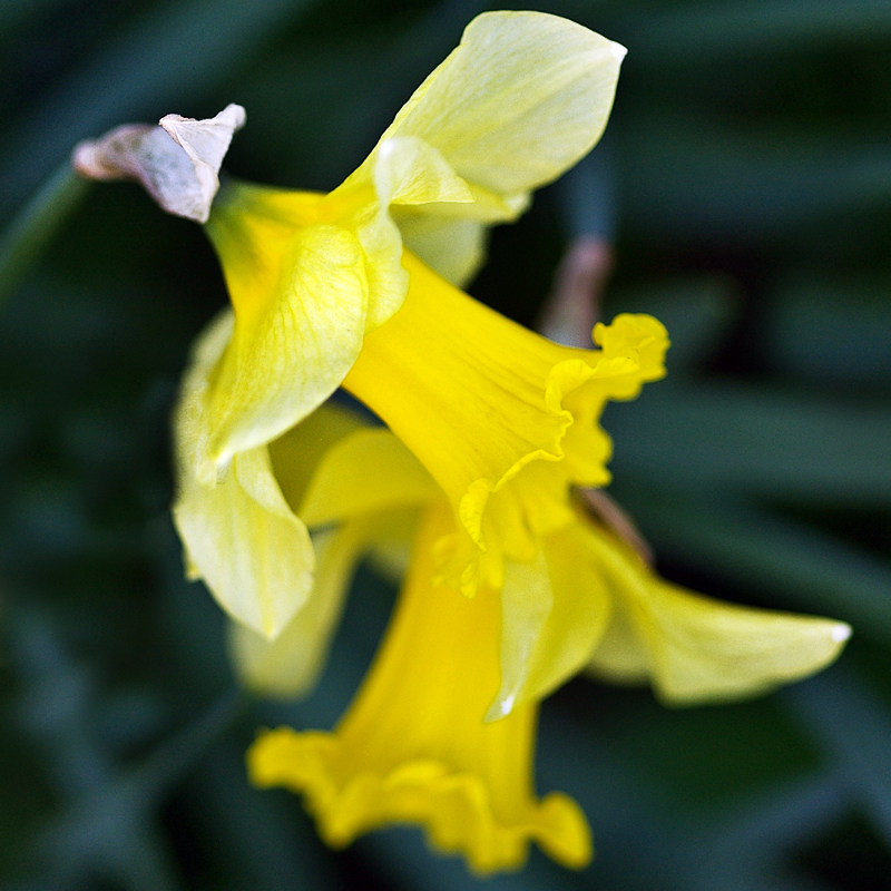 Narcissus by Ballisticvole