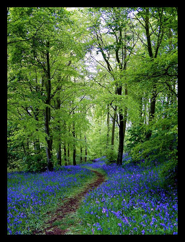 Bluebell Path by Ballisticvole