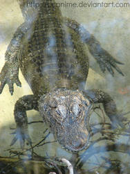 Chinese Alligator 2 - Jan. 2014 by BCAnime
