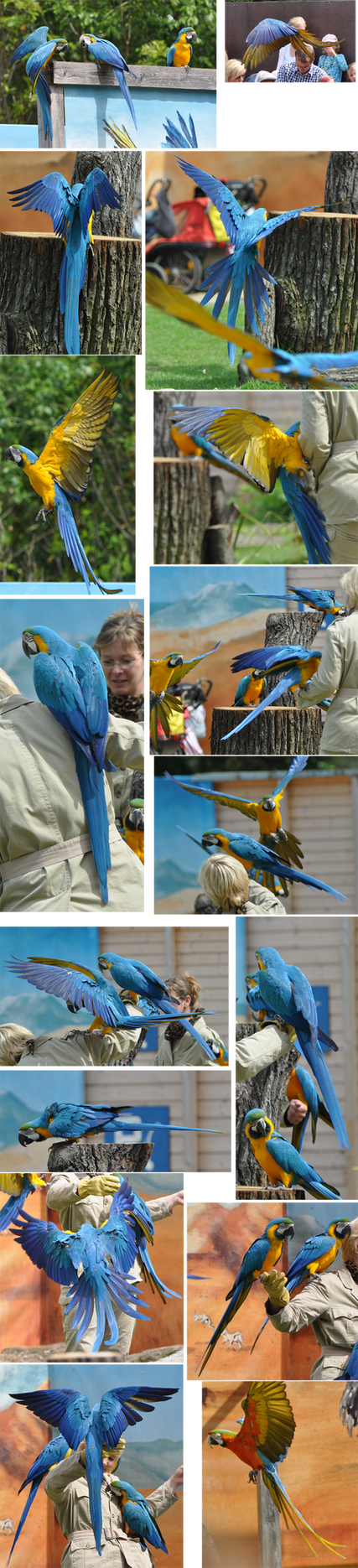 Blue-and-yellow Macaw Stock by Mikaley