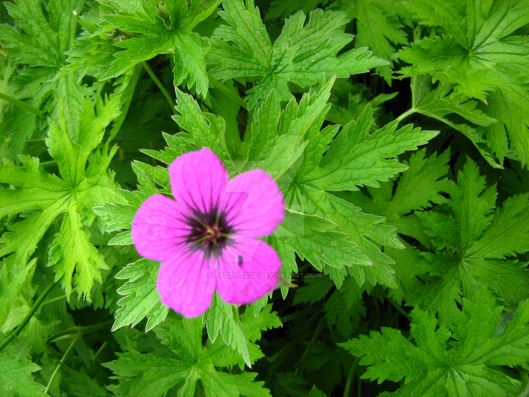 A Single Pink Flower by Eszies-Eszie