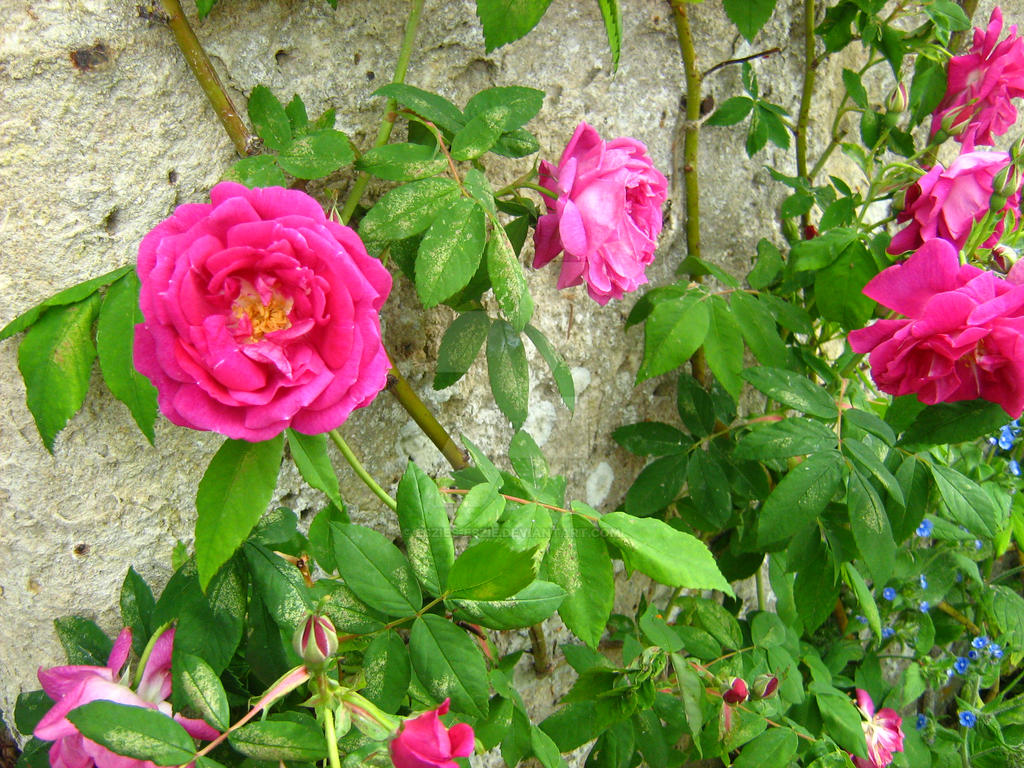 Red Roses by Eszies-Eszie
