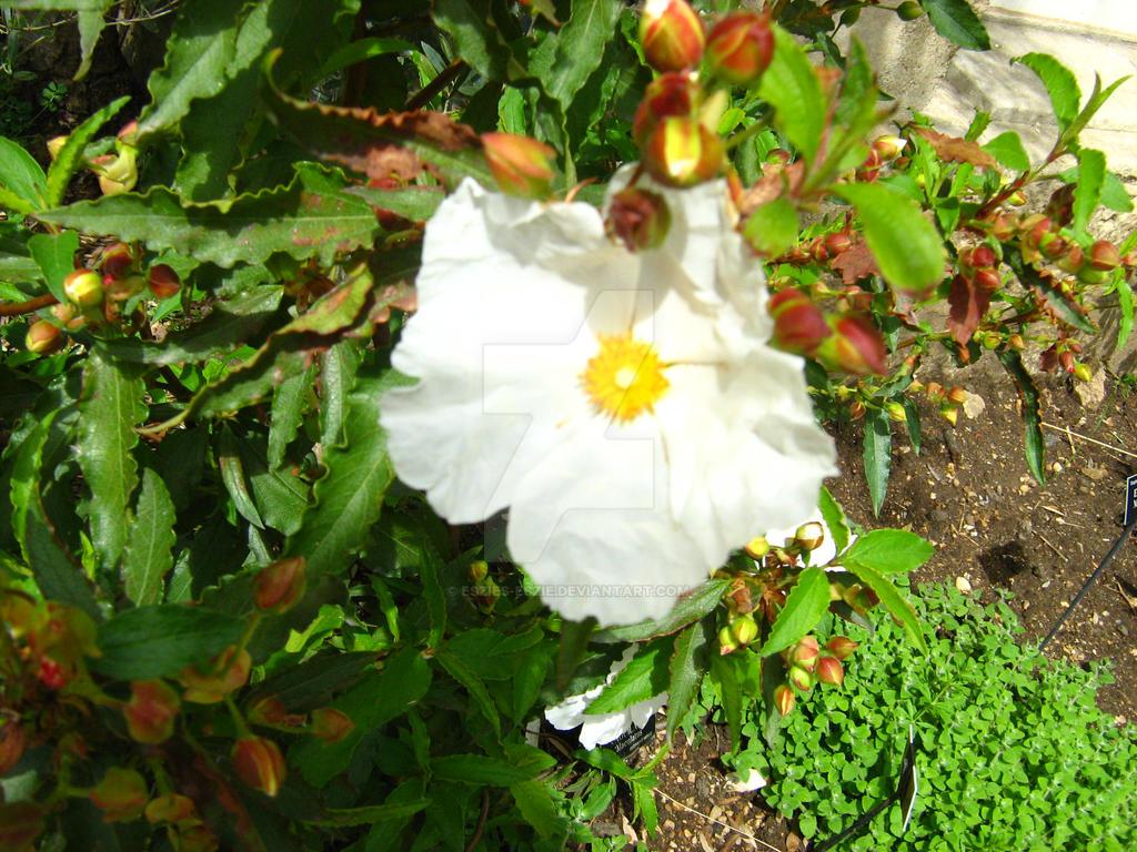 Pretty White flower by Eszies-Eszie